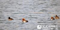 阿拉善盟发现全球极濒危物种——青头潜鸭 - Nmgcb.Com.Cn